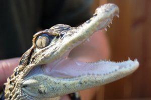 Gator in Sawgrass Recreation Park!